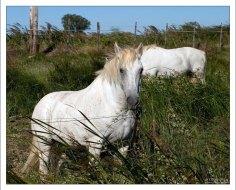 Бело-серые лошади камаргу. Camargue Nature Park.