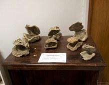 Окаменелые доисторические раковины устриц. Музей в Sacaco.