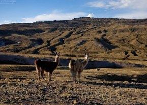 Ламы на пастбище.