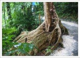 Корни Огненного дерева (Flamboyant Tree). Заповедник Flower Forest.