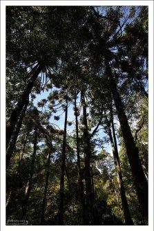 Заросли Бразильской сосны (Parana Pine) в парке Пена.