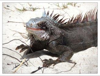 Обыкновенная зеленая игуана (Iguana iguana).