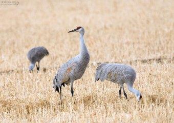 Главные мигранты парка - Sandhill Cranes (Канадские журавли).