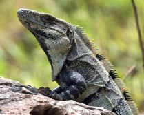 Черная игуана (Black Spiny-tailed Iguana, Ctenosaura similis) - очень широко распространена в Мексике.