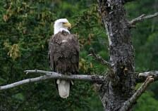 Молодой белоголовый орел (Bald eagle).