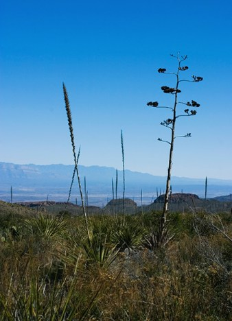 Агава и хвосты сотола в синей дымке каньона.