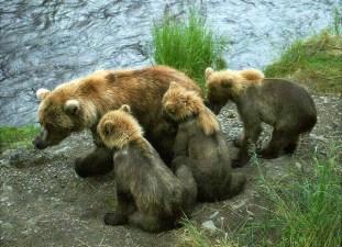 """Медведица по кличке """"Мать"""" с тремя детьми."""