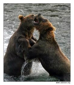 """Драка"". Драка двух свирепых медведей за рыбное место."