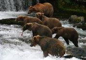 Медведи собрались под водопадом в ожидании лососей.