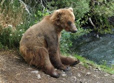 Молодой медведь, отдыхающий на берегу.