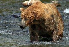 Одноухий, но все равно красивый медведь.