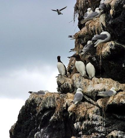 Чайки-моёвки (kittiwakes) и молодые бакланы (Cormorants) на острове Gull Island.