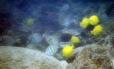 Веселая стайка рыб-бабочек (butterfly fish).
