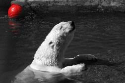Мечта белого медведя. Медведица Услада.
