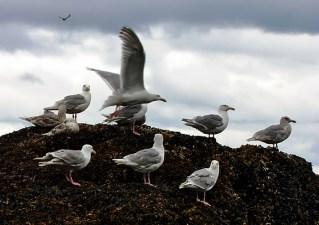 Чайки с птенцами на острове.