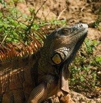Самец зеленой игуаны в брачном наряде. Belize river.