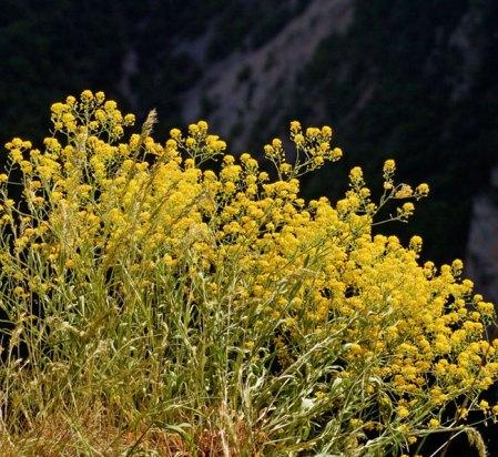 Заросли бурачка (Alyssum saxatile) на краю каньона.