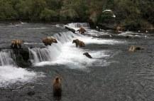 Толпа медведей на водопаде.