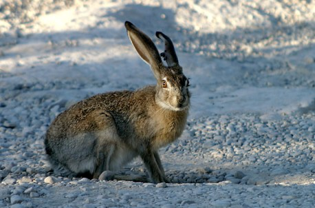 Black-tailed Jack Rabbit - чернохвостый заяц; хорошо узнаваем по черным кончикам ушей.