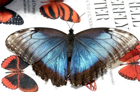 Бабочка Ulysses, приземлившаяся на книжку по определению бабочек :)
