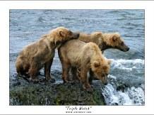 Тройной медвежий дозор. Трое уставших и мокрых медвежат посреди реки, высматривают родительницу, отправившуюся на рыбалку. На этом месте они провели около 4 часов.