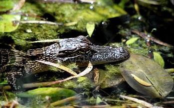 """Недавно родившийся аллигатор. Парк """"Brazos Bend""""."""