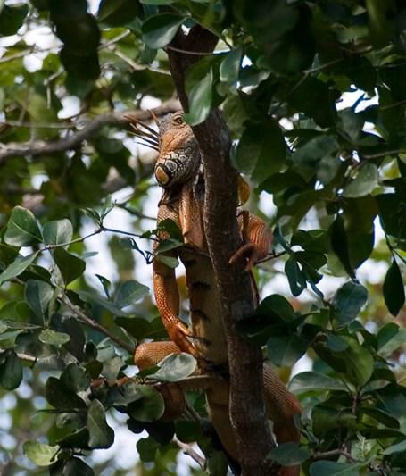 Разбуженный и недовольный самец сухопутной игуаны.