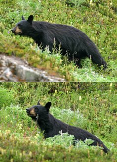 Черный медведь (Black bear) на склоне горы.
