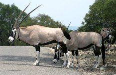 Антилопы пятнистоносые (addax antelope).