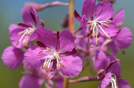 Розовые цветы растения Иван-чай (Fireweed).