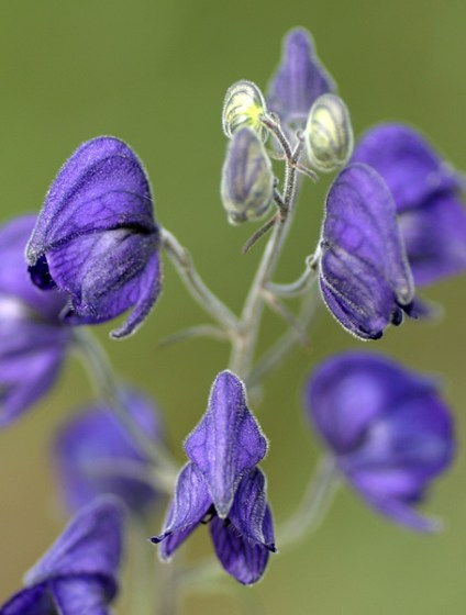 "Синие ""башмачки"" (Monkshood flower)."