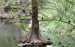 Древесные утки на своем привычном месте.