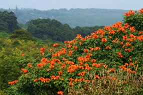 Буйство растительности по сторонам дороги. Африканское тюльпанное дерево.