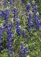 Официальный цветок штата Техас - Bluebonnet.