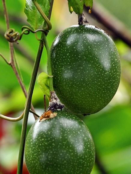Плоды на кустах вдоль ответвления Nahiku.