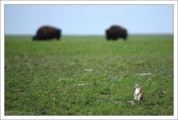 Сурок на фоне бизонов.
