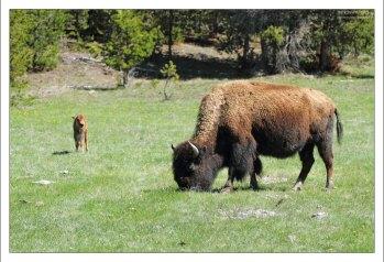 Недавно народившийся бизончик и его мама.