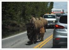 Бизонья пробка из-за животных на дороге.