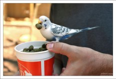 Закусывающий попугай.