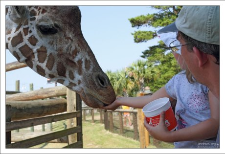 Кормление жирафа.