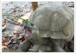 Голодная черепаха.