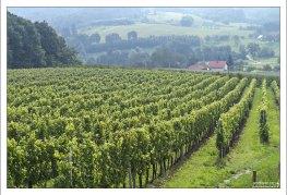 Виноградная плантация.