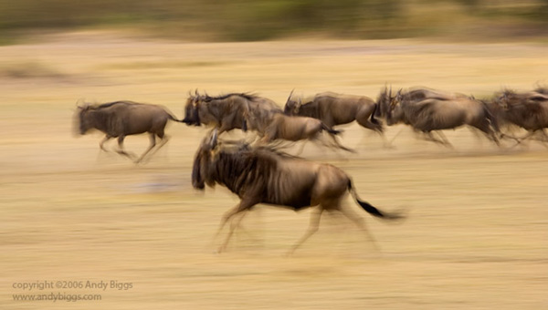 Colour fine art photo of wilderbeest in Africa by Andy Biggs