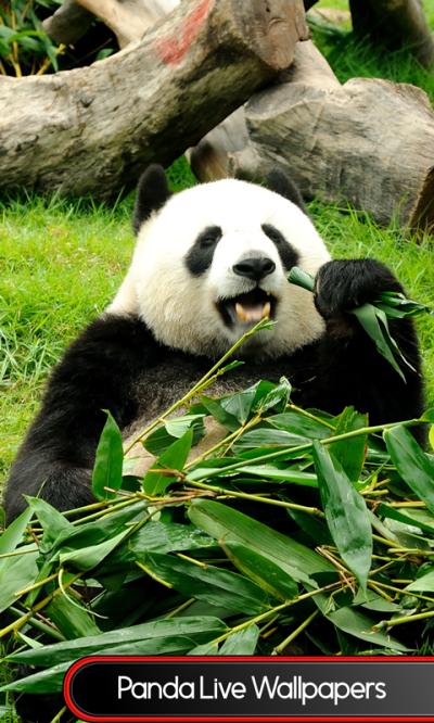 Free Panda Live Wallpapers Android App APK by Popular Ringtones Studio