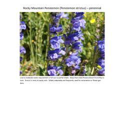 Small Crop Of Rocky Mountain Penstemon