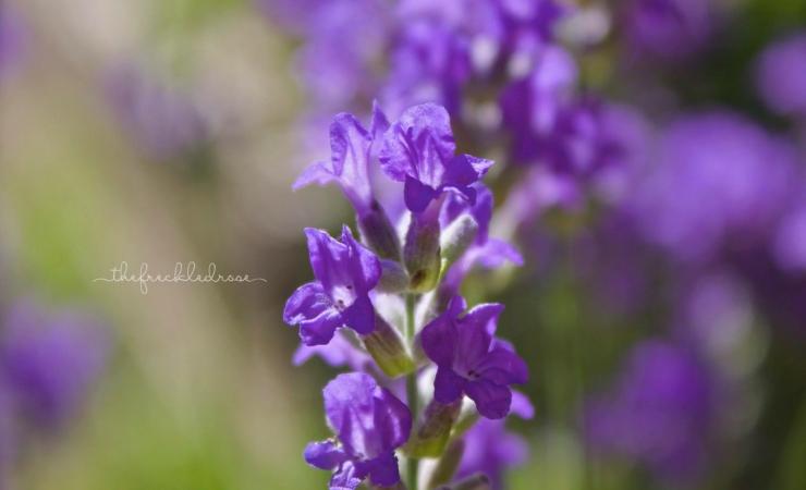 lavenderw
