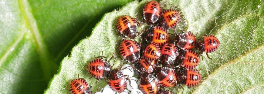 Group of ladybugs on a leaf