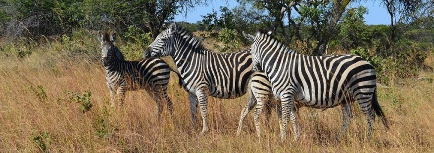 Group of zebras walking