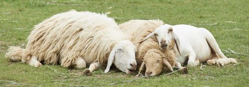 Sheep family sleeps together in the grass