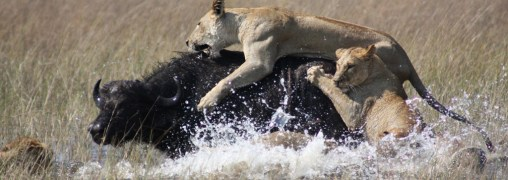 Two lions attack African Buffalo in a body of water or pond.